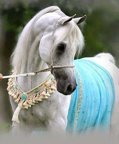 Egyptian Arabian horse, love that blue blanket