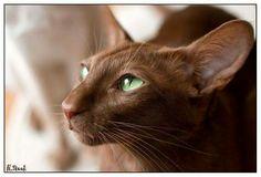 Genetics of Coat Colour and Pattern :: Tonkinese Cats & Kittens Queensland Cornish Rex, Devon Rex, Havana Cat, Havana Brown, Kittens Cutest, Cats And Kittens, Tortoiseshell Tabby, Oriental Shorthair Cats, Group Of Cats