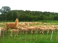 Alpaca Chute Watertown Llamas with regard to size 4288 X 3216 Portable Fencing For Alpacas - These blades may have anywhere from 20 to 50 teeth, and the Alpacas, Sheep, Fence, Cute Animals, Activities, Image, Pretty Animals, Cutest Animals, Cute Funny Animals