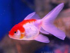 Poisson rouge avec queue voile de couleur rouge aussi for Poisson rouge queue de voile