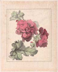 Untitled (Cabbage Rose, 114) JOHN HANCOCK (ENGLISH, b. 1757–UNKNOWN) C. 1825