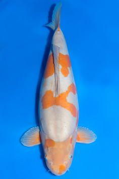 Koi Kunst, Koi Fish Colors, Koi Art, Carpe, Japanese Koi, Water Life, Goldfish, Koi Ponds, Gazebo