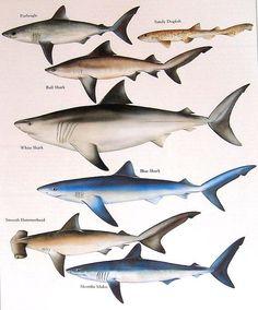 Porbeagle Bull Shark Sandy Dogfish White Shark etc. Orcas, Types Of Sharks, Water Life, Ocean Creatures, Shark Week, Sea World, Ocean Life, Marine Life, Under The Sea