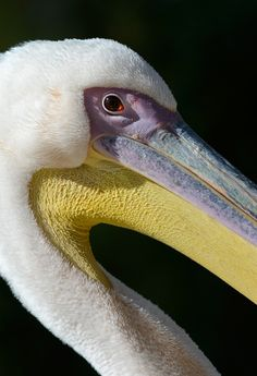 Great White Pelican, Netherlands