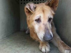 10 YEAR OLD GERMAN SHEPARD NEEDS PLEDGES FOR RESCUE! A4802177 My name is Dazzler and I'm an approximately 10 year old female germ shepherd. I am not yet spayed. I have been at the Downey Animal Care Center since February 20, 2015. I will be available on February 24, 2015. You can visit me at my temporary home at D523. https://www.facebook.com/photo.php?fbid=819013101512357&set=pb.100002110236304.-2207520000.1424556037.&type=3&theater