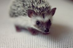 oflionsandnemeans:    Shhh, don't tell anyone, but I've always wanted a hedgehog pet.