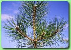 ihličnaté stromy smrek - Hľadať Googlom