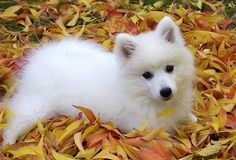 Had 2 Japanese Spitz pups growing up. Very cute too clever Baby Puppies, Cute Puppies, Cute Dogs, Dogs And Puppies, Doggies, Beautiful Dogs, Animals Beautiful, Cute Animals, Japanese Spitz Puppy