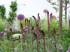 Lysimachia atropurpurea with giant alliums, scabious/pincushion flower, fine-textured pale grasses, and large-leafed tall perennials and shrubs.