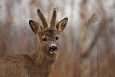 https://flic.kr/p/stEZkh | Roe Deer Buck | Norway