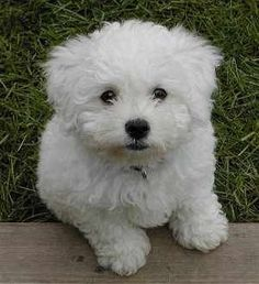 Take me home. White Fluffy Puppy Poodle Bichon or other possibilties