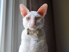 Crochet cotton bow tie for cat Cat colarSand color hand made