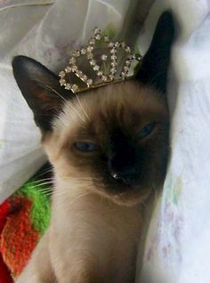 A Siamese cat wearing a crown. Was there ever any question about this?