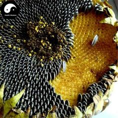 Buy Sunflower Seeds 300pcs Plant Helianthus Annus For Kwai Seed