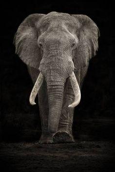 Photo Elephant, Elephant Love, Elephant Art, African Elephant, African Animals, Elephants Never Forget, Save The Elephants, Baby Elephants, Beautiful Creatures