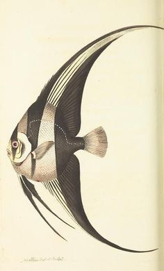 angel fish - The naturalist's miscellany, or Coloured figures of natural objects - Biodiversity Heritage Library Vintage - Natural History - Scientific - Print - Fish Scientific Drawing, Fish Drawings, Angel Fish, Vintage Fishing, Fish Art, Gravure, Sea Creatures, Natural History, Vintage Prints