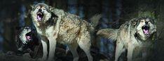 Wolf Gifts added a new photo. Wolf Photos, News Track, Metal Bands, Black Metal, Vikings, Folk, Lyrics, Survival, Animals