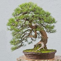 This old Pine bonsai has so much character. This image and tree is from Walter Pall. www.walter-pall.de #bonsai #tree #pine #pinus…