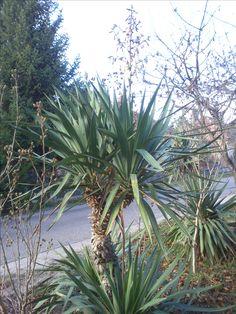 Yucca pálma.