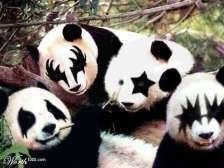 Pandas painted to look like KISS