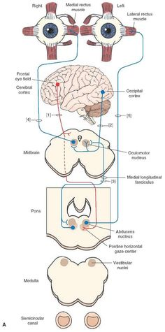 Cranial Nerves of the Pons and Midbrain Associated With the Control of Eye Movements Abducens Nerve (Cranial Nerve VI) Components: GSE. The abducens nerve is a pure motor nerve whose principal function is to move the eye laterally (i. Eye Anatomy, Brain Anatomy, Human Anatomy And Physiology, Medical Anatomy, Body Anatomy, Nervous System Parts, Nervous System Anatomy, Central Nervous System, Physical Therapy