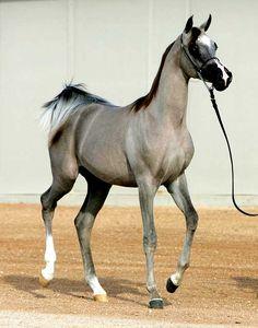 silvery grey arabian filly