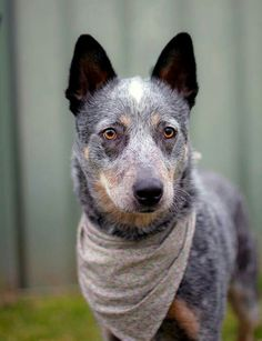Australian Cattle Dog- is this what Lupo will look like?