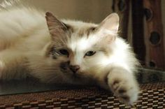 Persia is an adoptable Ragdoll Cat in Fort Worth, TX. Persia is the queen of cats! She is a benevolent queen, a quick-to-purr cat and the perfect mother to her 5 kittens (also up for adoption). Persia...