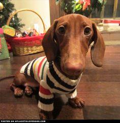 Miniature Dachshund rocking the striped sweater