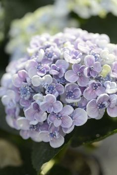 Hydrangea come in blue, purple, pink, white, and green and all shades in between.  It's the Queen of wedding bouquets!