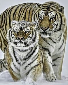 Siberian tigers. Photo by:©Paul keates