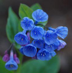 Beautiful Flowers Garden, Amazing Flowers, Pretty Flowers, Purple Flowers, Spring Pictures, Flower Pictures, Virginia Bluebells, Flower Cards, Flower Wall