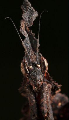 Mantis fantasma: puede encontrarse en zonas de Madagascar y África continental, es otra de las especies con cuerpo en forma de hoja seca, aunque si por algo se caracteriza es por su impresionante cono asombrosamente asimétrico que le ayuda a distorsionar el contorno de su cuerpo para pasar desapercibida ante las hojas.