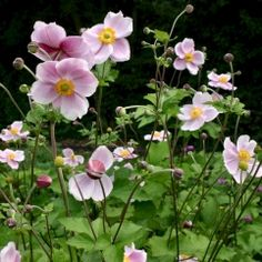 Anemone x Hybrida 'Mont Rose'. Propagate by dividing between October & March. Cut to ground level after flowering Flower Garden, Planting Flowers, Plants, Garden Help, Little Garden, Beautiful Flowers, Cacti And Succulents, Anemone, Cottage Garden Plants