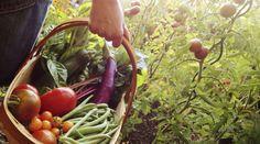 Grüner Daumen - Eigener Gemüsegarten: Tipps für die Vorbereitung  Tomaten, Bohnen, Möhren und vieles mehr: Ein eigener Gemüsegarten erspart Ihnen nicht nur den Gang in den Supermarkt. Sie wissen auch ganz genau, wo Ihr Gemüse herkommt und dass es vollkommen unbehandelt ist. Bevor Sie überstürzt ein Beet anlegen, sollten Sie allerdings in die Planung gehen.