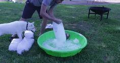Siberian Husky gets an ice pool. - 9GAG