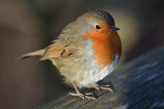Photograph Robin by Ewan on 500px