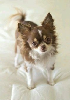 Chihuahuas are excellent pets, but a dog owner must bear in mind that the Chihuahua lifespan is shorter compared to human lifespan. That said it is important that the owner to make sure that his/her Chihuahua has a long and happy life. Teacup Chihuahua, Chihuahua Puppies, Cute Puppies, Cute Dogs, Long Hair Chihuahua, Beautiful Dogs, Animals Beautiful, Chi Dog, Puppies And Kitties