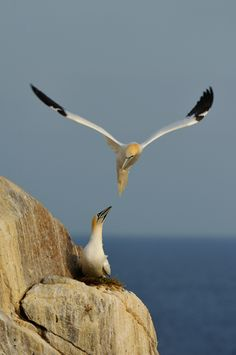 Image result for cliffs with mist and a gannet snatching a fish from a gull