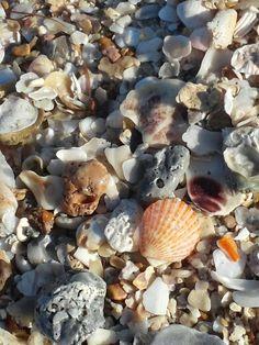 Seashells in a natural setting....Magnolia Beach