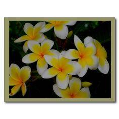 Plumeria Postcard