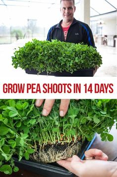 What you'll learn: Step by step, how to grow pea shoots What you MUST do to prevent dangerous contamination Why coconut coir, seedlings pads do not work for pea shoots Recipe for simple pea shoots stir fry…