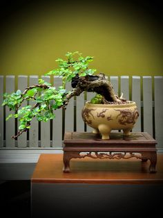 The upright styles in bonsai are one of the most popular and easy styles for beginners. Learn all about the two main upright styles in bonsai growing. Pre Bonsai, Mini Bonsai, Indoor Bonsai, Bonsai Plants, Bonsai Garden, Garden Trees, Bonsai Mame, Mini Plantas, Bonsai Tree Types
