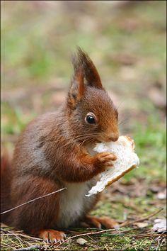 **Squirrel, Eekhoorn