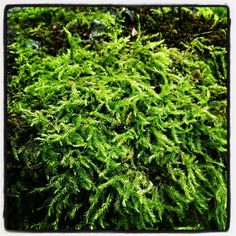 Mosses thrive in areas where other plants struggle. Moss doesn't actually have a root system or seeds like most garden plants do, so propagating moss is achieved using info from this article.
