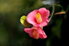 https://flic.kr/p/boSXvg   Camellia japonica   椿    実家で咲いていました。 藪椿よりも薄い色で、早く咲きます。
