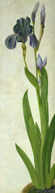 Albrecht Dürer - An Iris