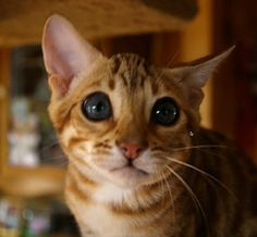 """<b>For those who wonder why """"puppy dog eyes"""" are a thing and yet kitty cat eyes aren't???</b>"""