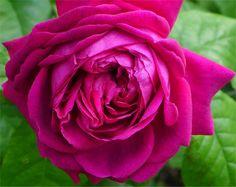 """ Young Lycidas "" (AUSvibrant) - English Rose Collection - Shrub rose - Deep pink - Strong fragrance - Austin 2008"