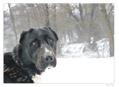 dog, Central Asian Shepherd, Alabai, Ovcharka